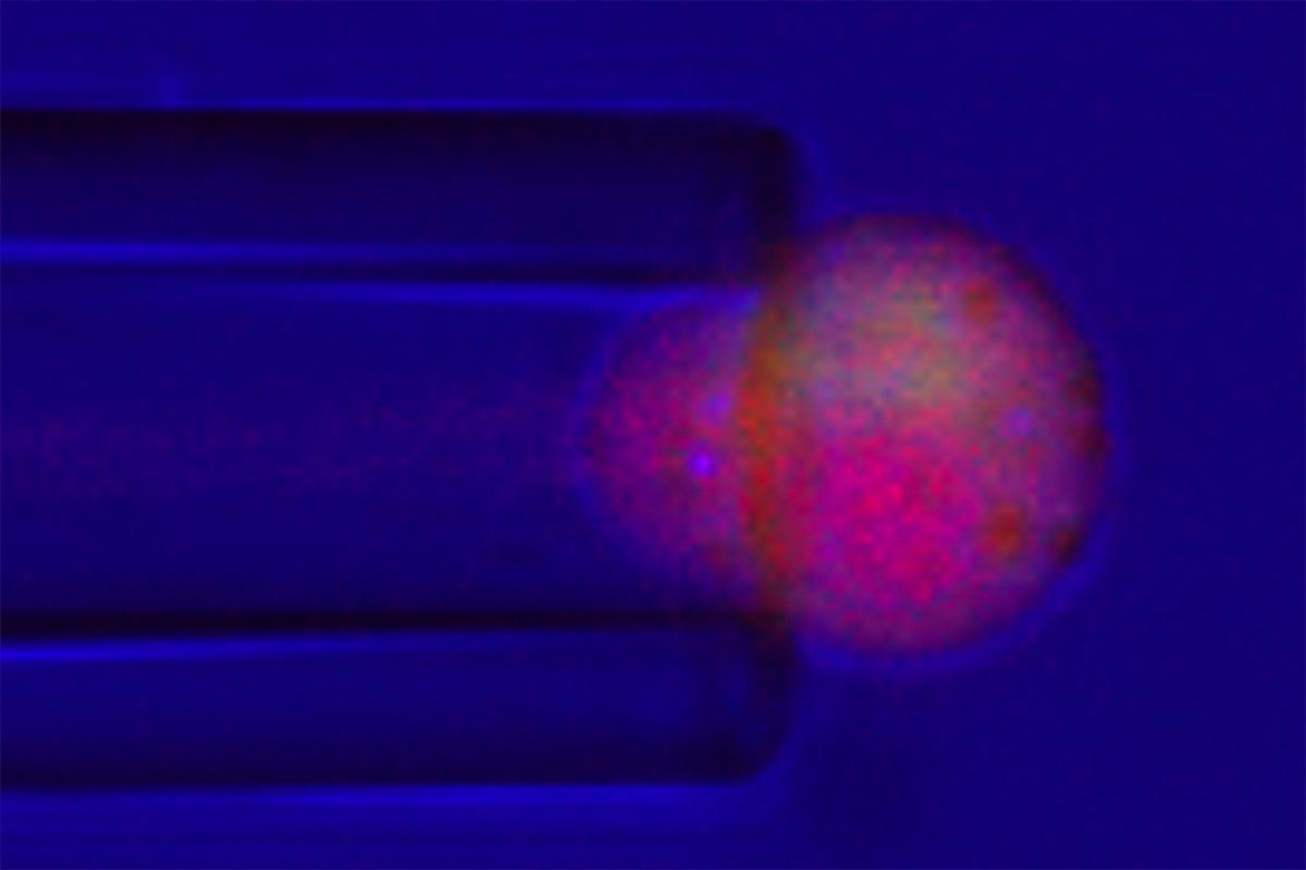 Image shows cells engineered to release anti-inflammatory drugs in response to stress, being stimulated by a glass pipette
