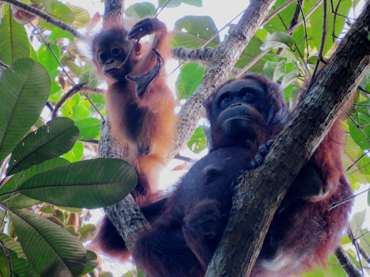 Orang-utan mother and baby, named Indah and Ima by the researchers