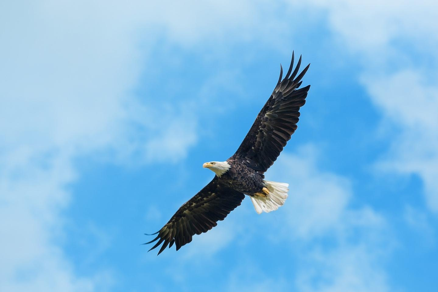 According to the US Fish and Wildlife Service, there are roughly 143,000 bald eagles and 40,000 golden eagles in the United States