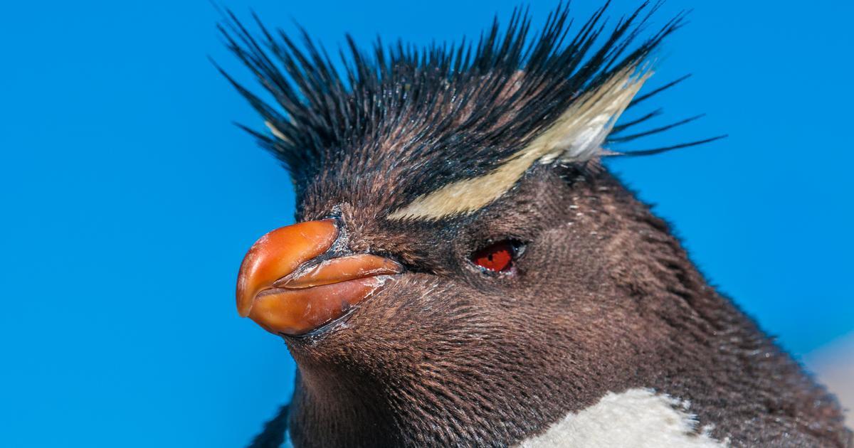 Gene study suggests penguins originated in warmer Australian waters