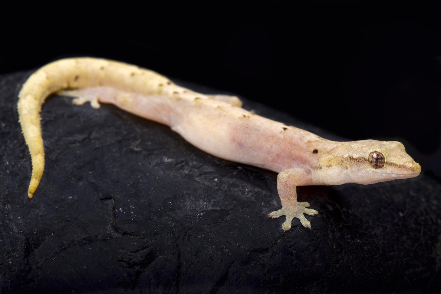 The Mourning gecko (Lepidodactylus lugubris) was the subject of the new study into regeneration