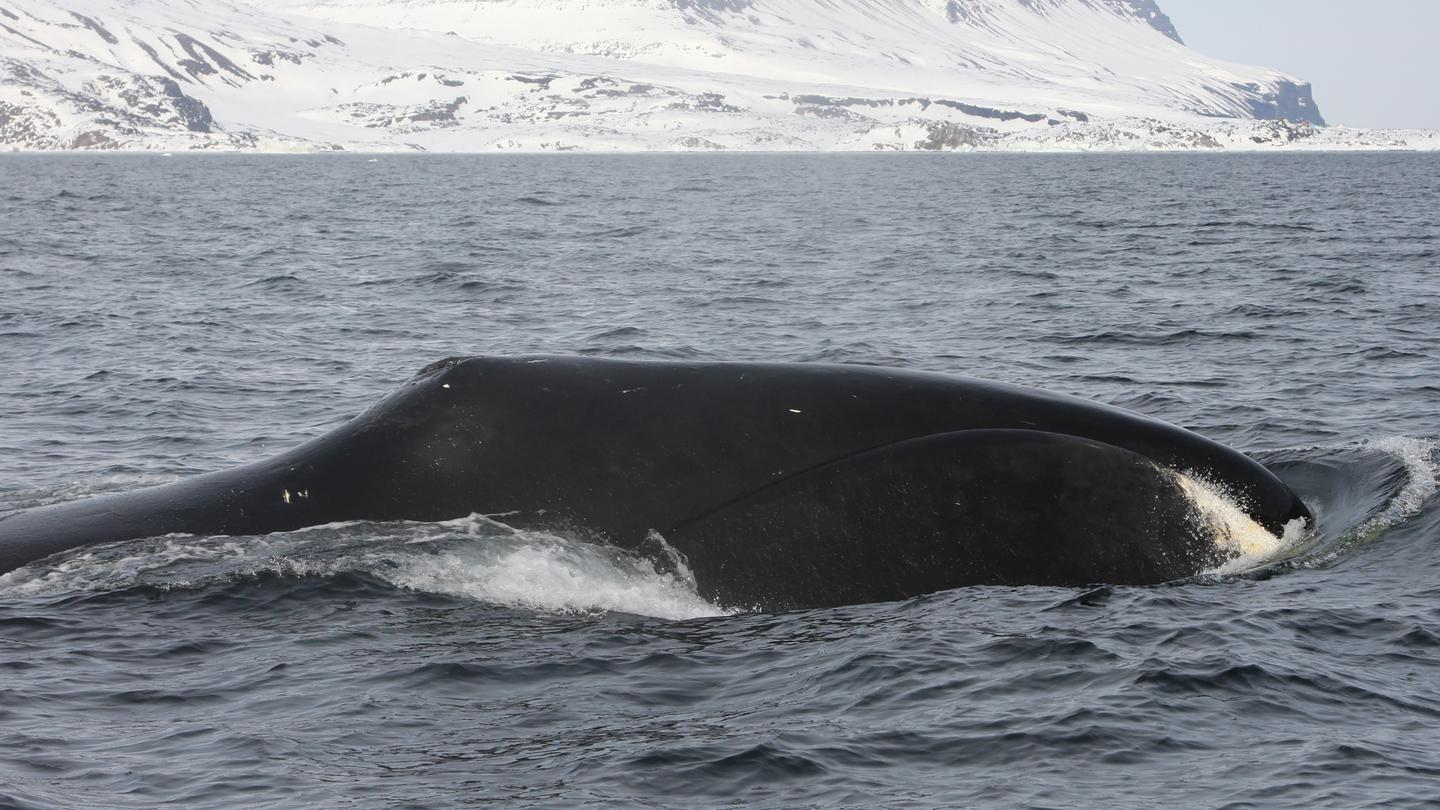 The study focused on 11 species including the bowhead whale, pictured here by study lead author Kristin Laidre in the Disko Bay, West Greenland (Photo: Kristin Laidre/University of Washington)