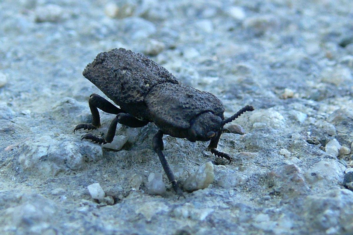 The diabolical ironclad beetle, one of nature's toughest critters