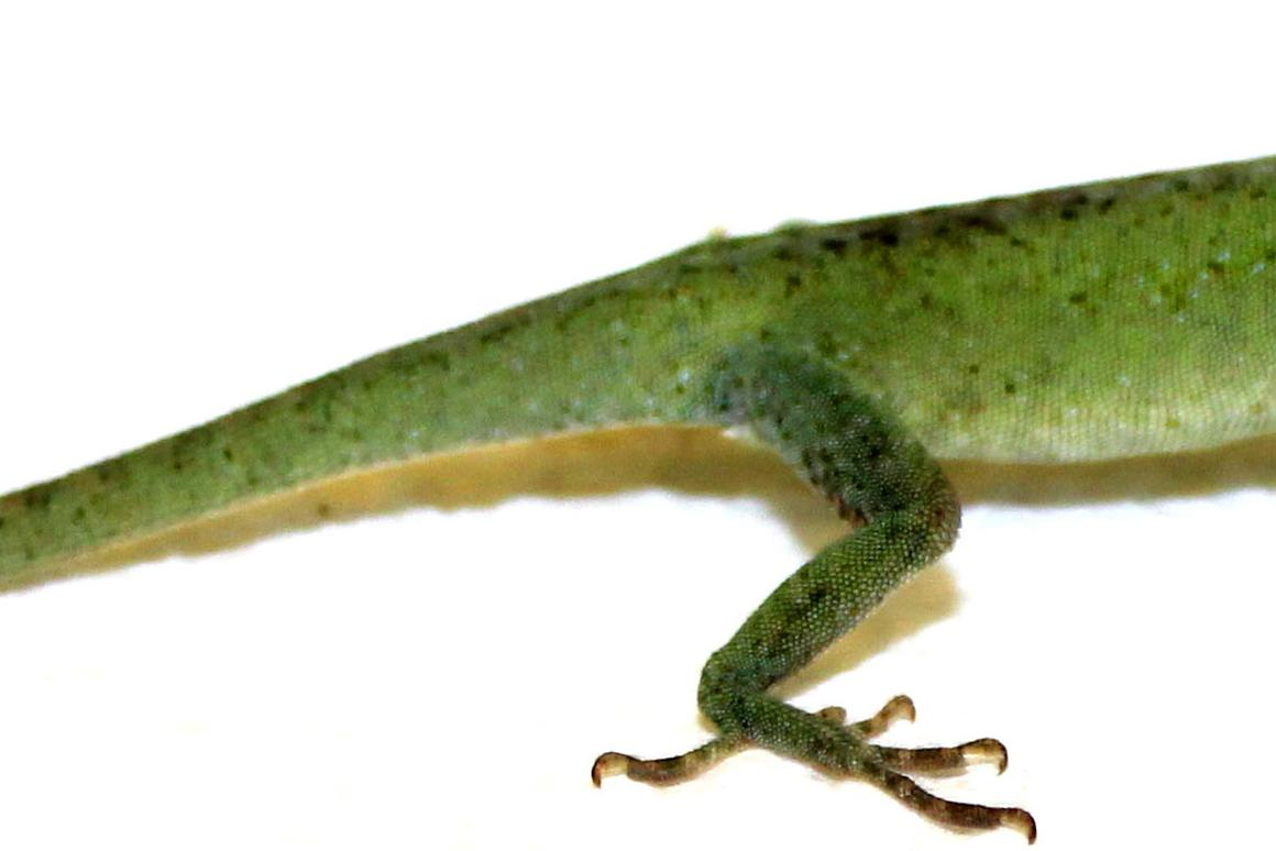 A green anole, that has regrown the end of its tail