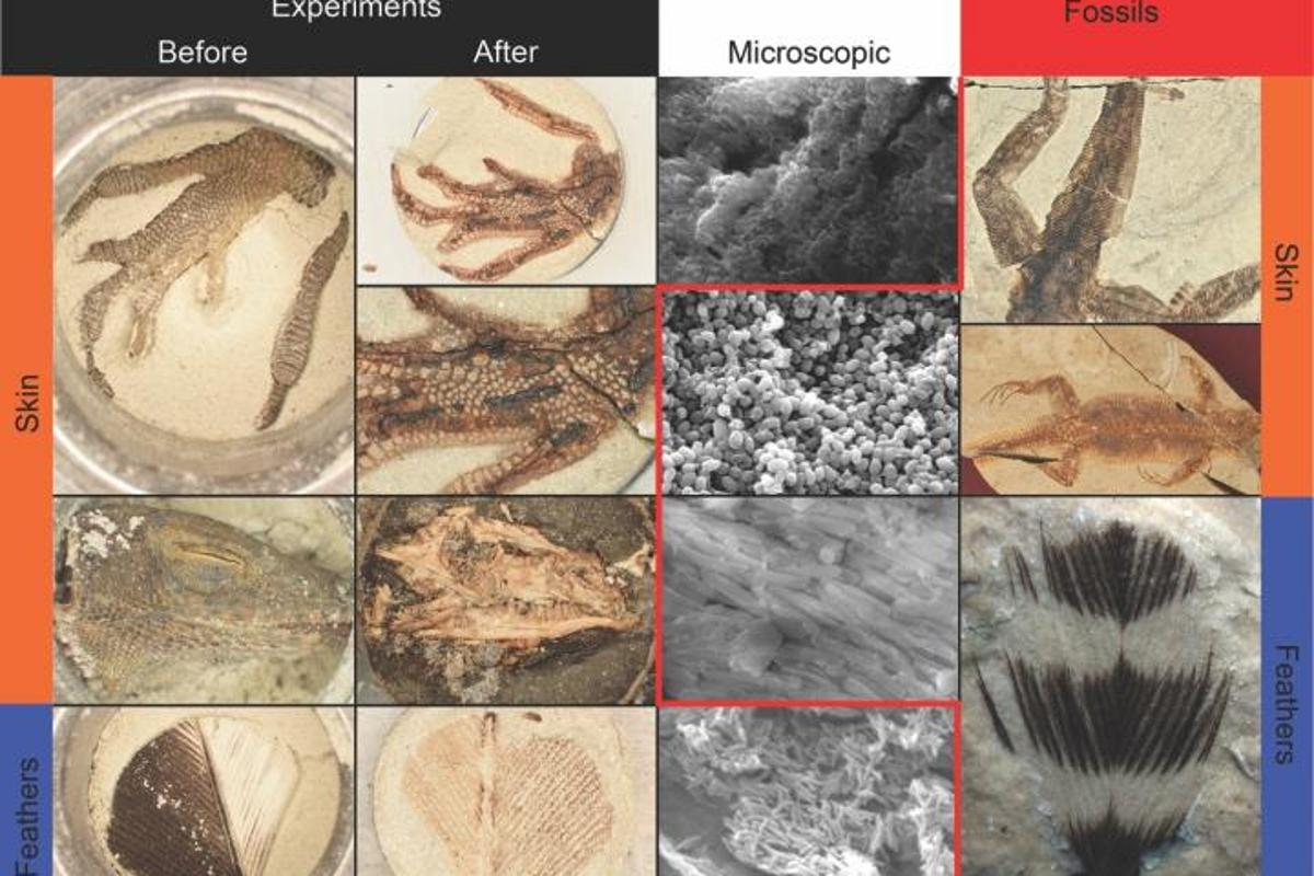 Some of the biological samples, compared to the fossils that they became