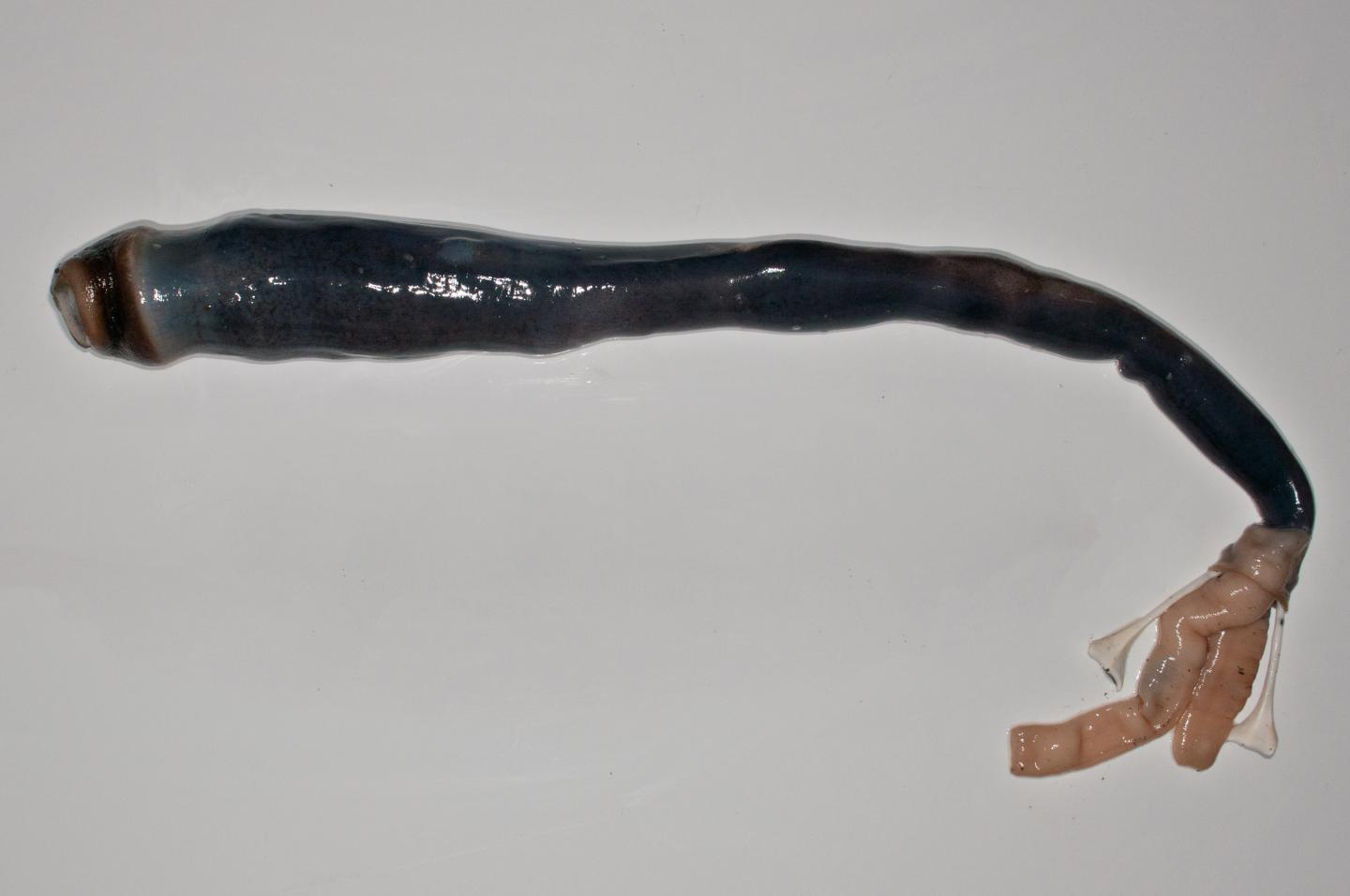 This is the first time thatscientists have found live specimens of the mud-burrowing giant shipworm (removed from its shell in this picture), which thrives on a gas toxic to most living creatures