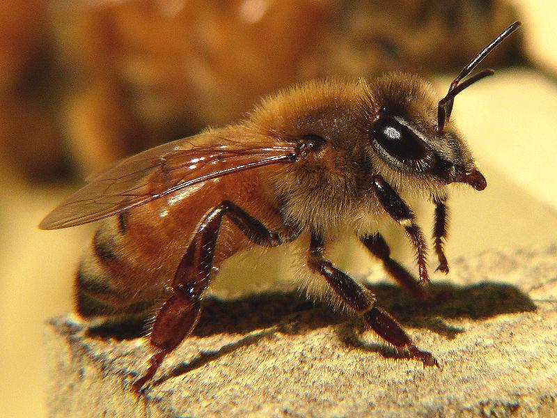 Scientists hope to emulate the honeybee's aerial navigational skills through human technology