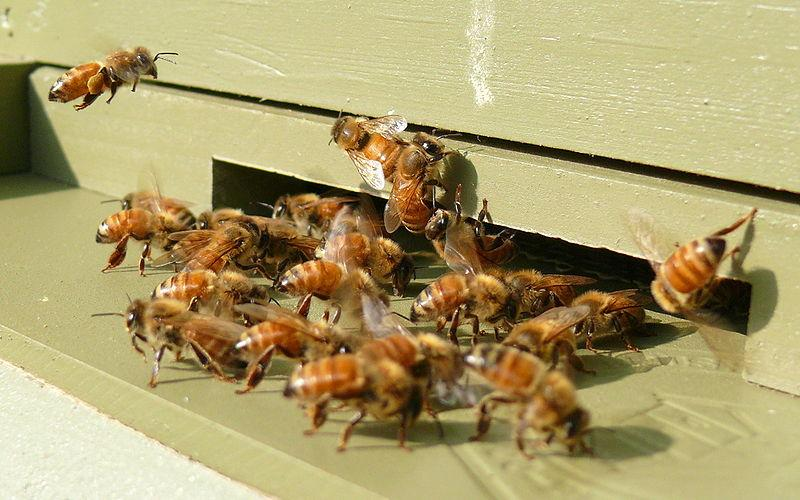 BeesVita is claimed to arrest Colony Collapse Disorder