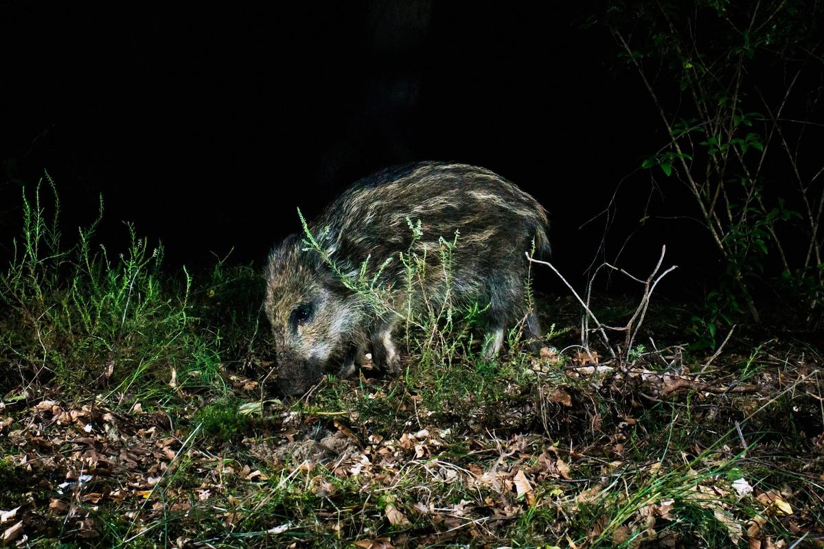 A comprehensive new study has found that human disturbance is making mammals increasingly turn nocturnal