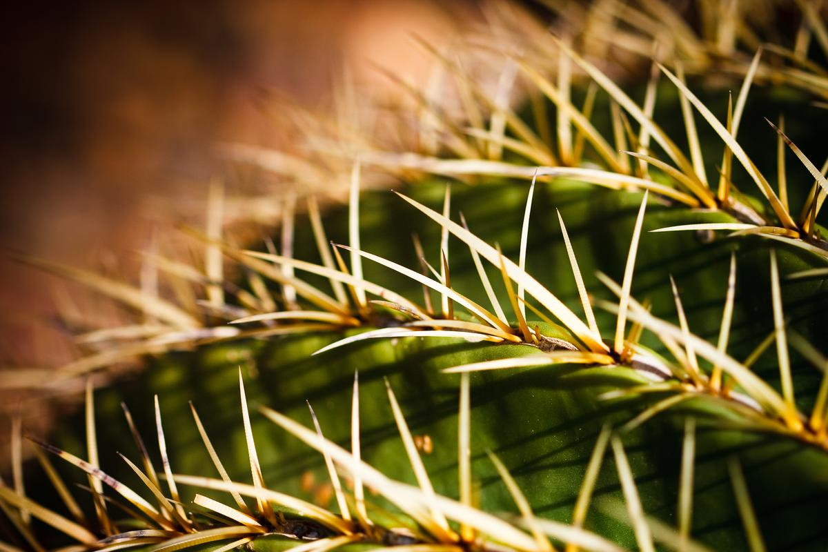 Cactus needles draw moisture to the plant, just like the new material draws in oil droplets from the water (Photo: Shutterstock)