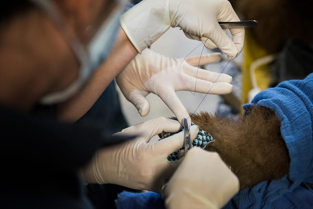 UC Davis and CDFW veterinarians carefully suture tilapia fish skin bandages to bear paws