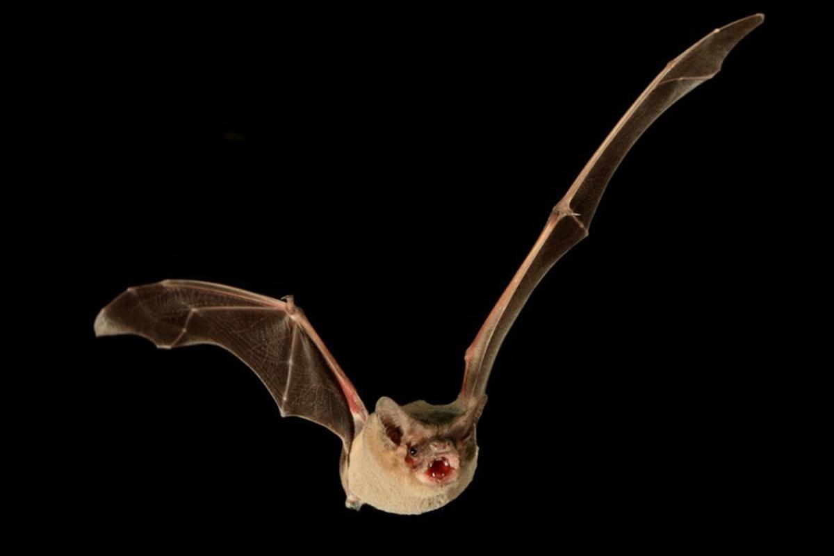A Brazilian free-tailed bat.The team has ruled out the possibility that tailwinds had a part to play in its record-breaking flight