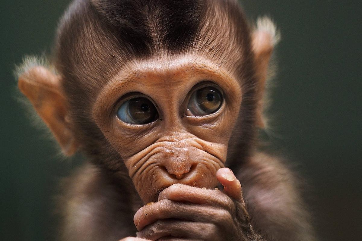 'Baby monkey' by @prabuds (Indonesia)