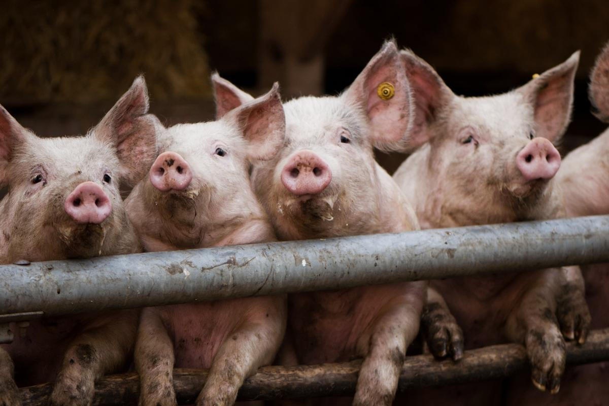 Pigs could be the key to addressing the shortage of human organs for transplant