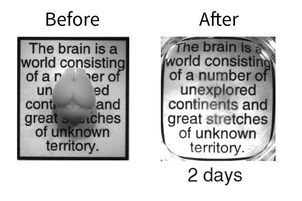 Now you see it, now you don't – an intact adult mouse brain before and after the two-day CLARITY process (Photo: Deisseroth lab)