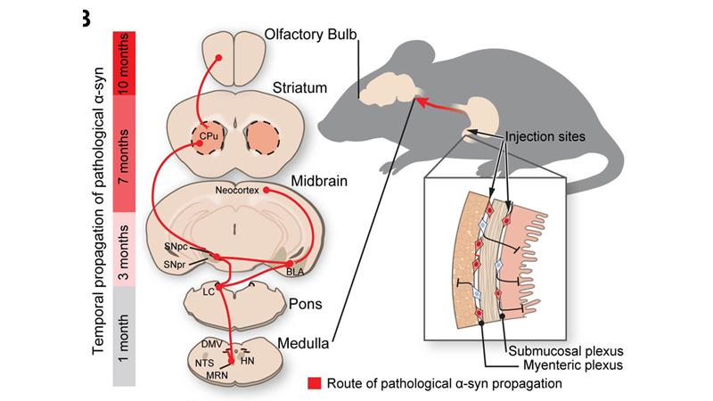 Route of Parkinson's disease-causing protein propagation in mice