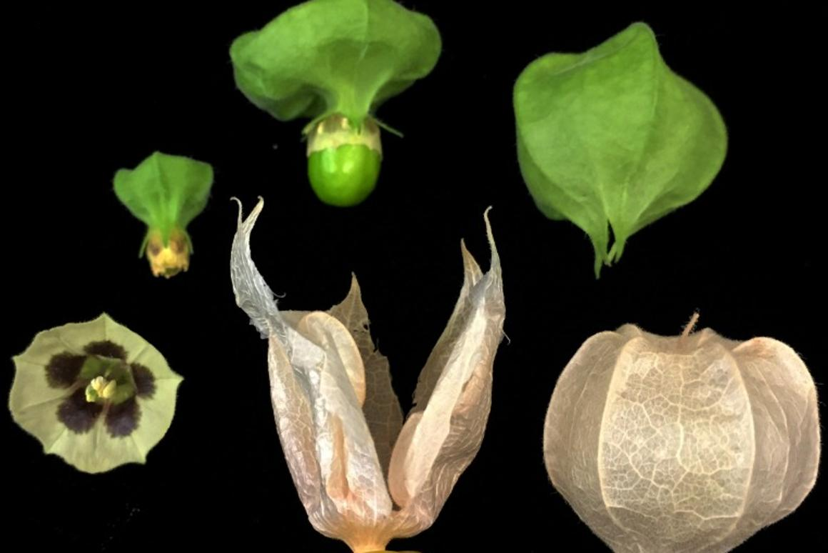 Raising orphan crops with CRISPR: Could groundcherries be