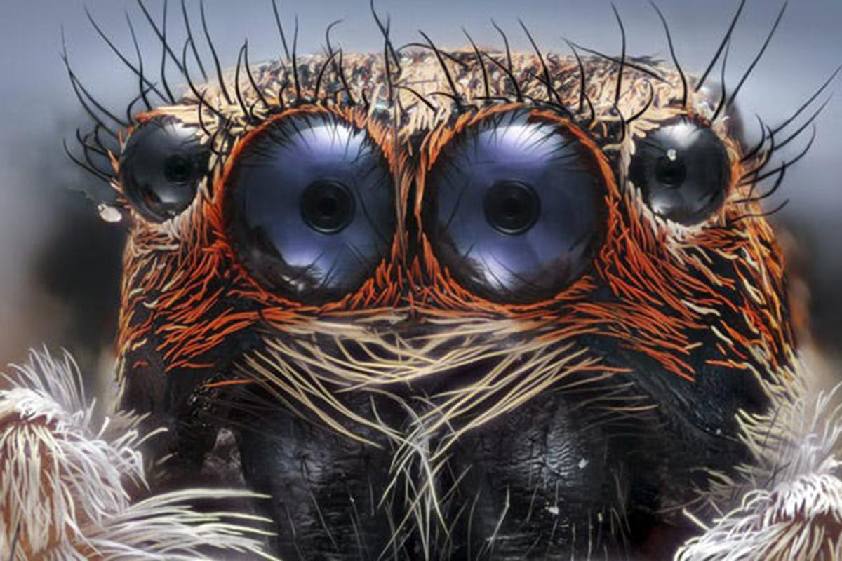 Closeup of a jumping spider, a submission to the Nikon Small World Photomicrography Competition