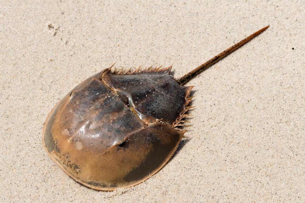 Horseshoe crabs are not true crabs – they're more closely related to spiders, ticks and scorpions