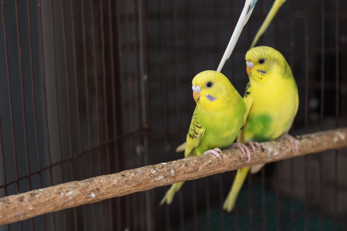 The study examined budgerigars, like these, to learn more about how birds avoid accidents while in flight