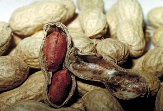 Peanuts: no longer a death sentence for allergy sufferers?