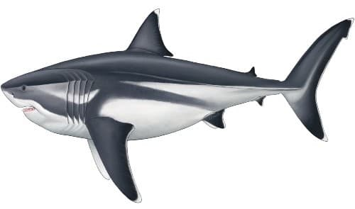 A reconstruction of the Megalodon, based on new data of its size and proportions