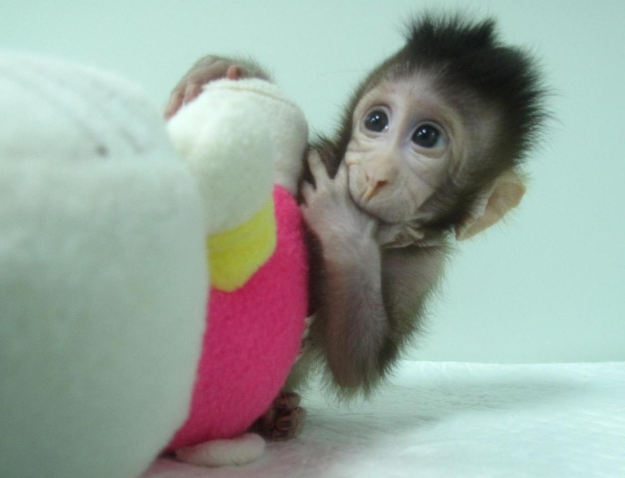 One of the cloned monkeys, named Zhong Zhong