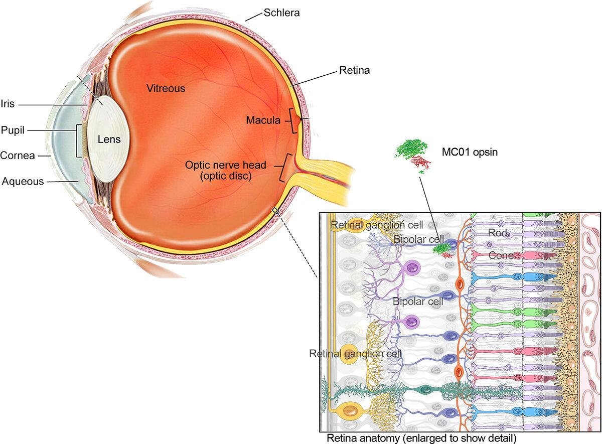The location of the bipolar cell targeted by the new gene therapy to express the MCO1 opsin protein, which helps restore vision in blind mice