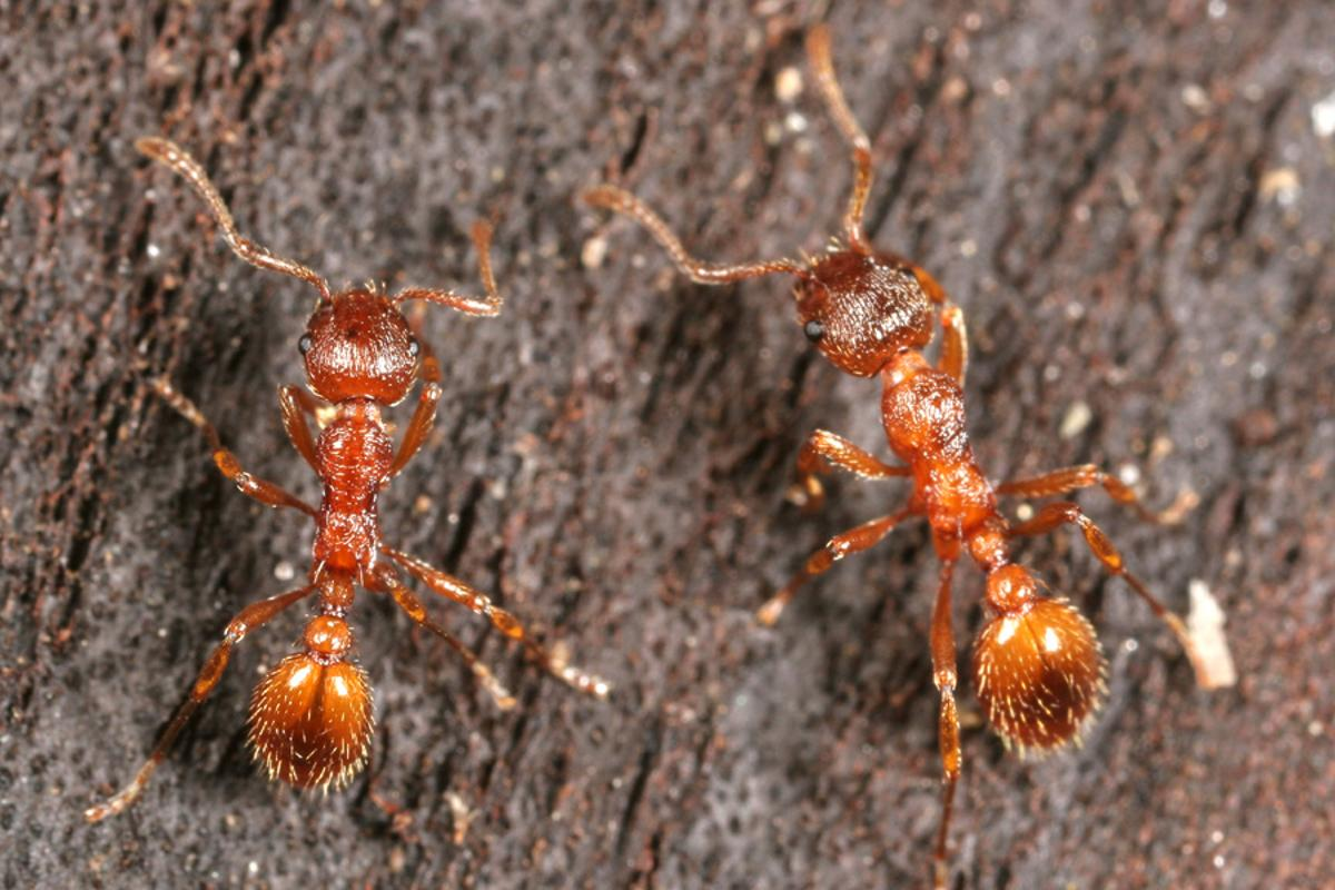 Some spiders eat some types of ants, but the European fire ant eats spiders