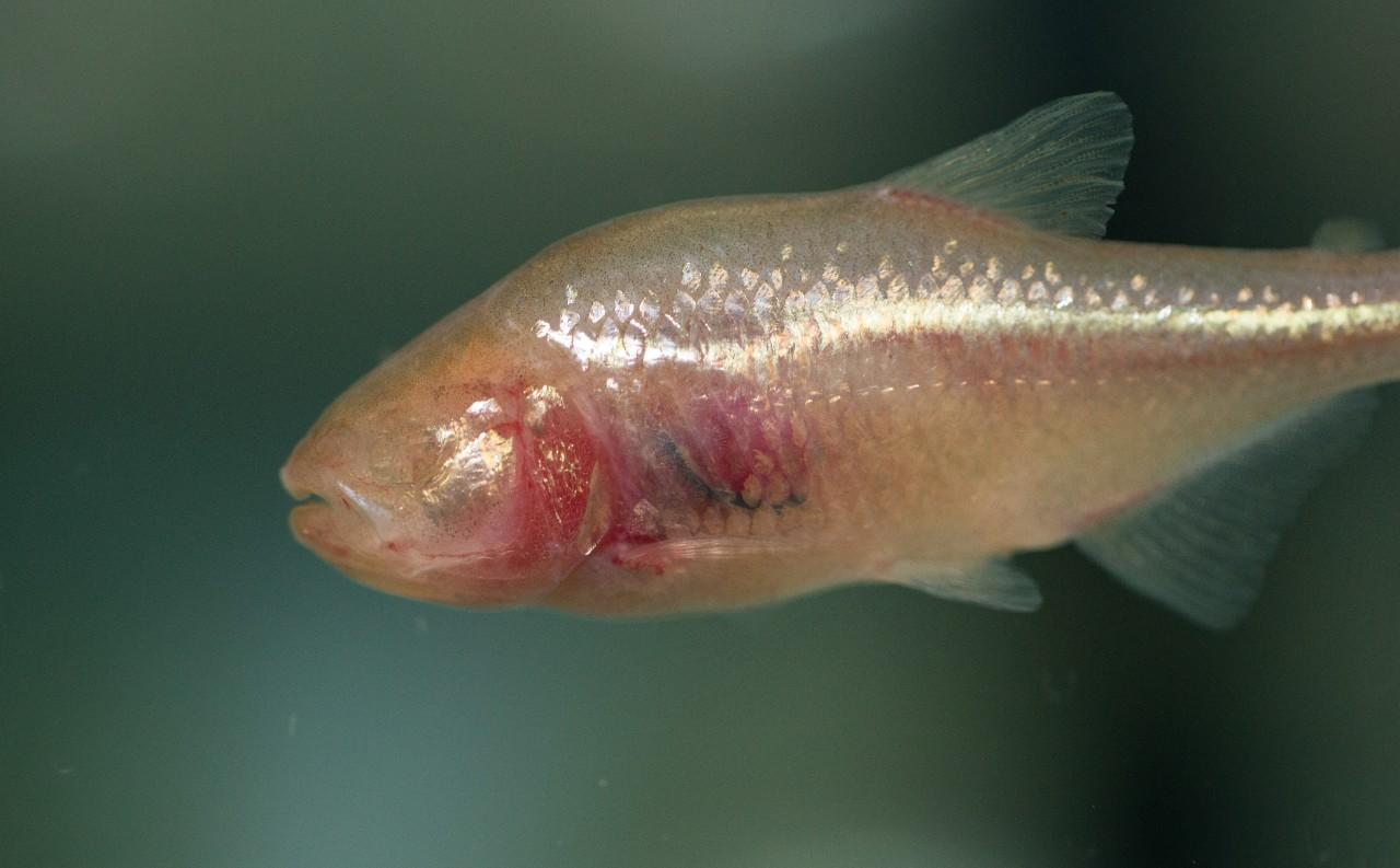 Because it lives in perpetual darkness, the Mexican cavefish has no need for eyes and has a skull that bends to the left to help it get a better sense of its surroundings