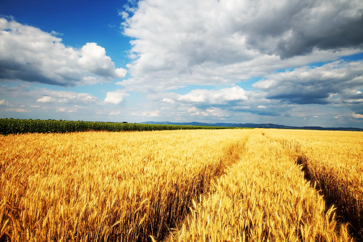 A new study predicts that global crop yields could fall by up to ten percent in the next 36 years (Photo: Shutterstock)