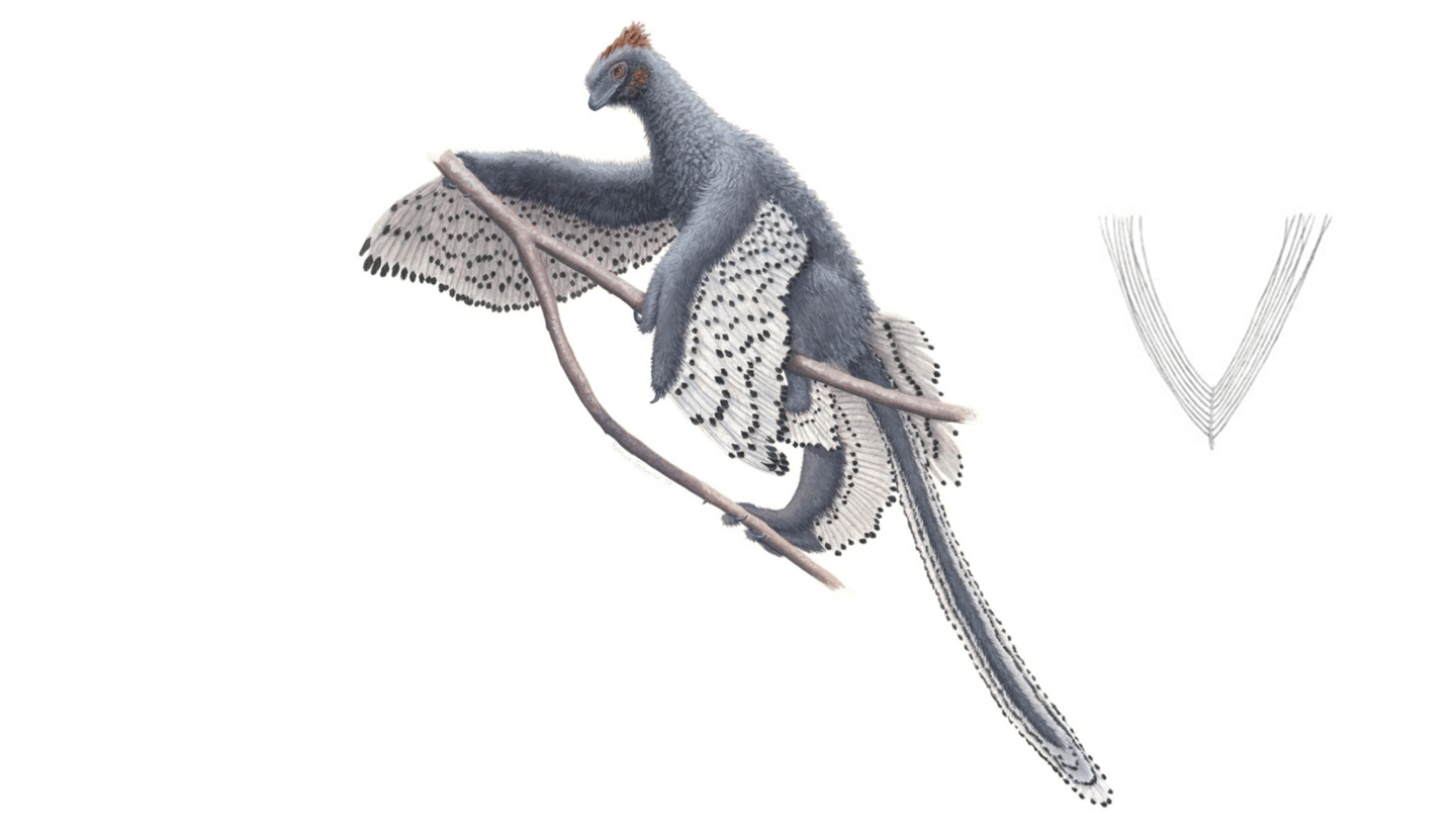 This drawing of the bird-like dinosaur, Anchiornis, may just be the most accurate depiction of any dinosaur species ever
