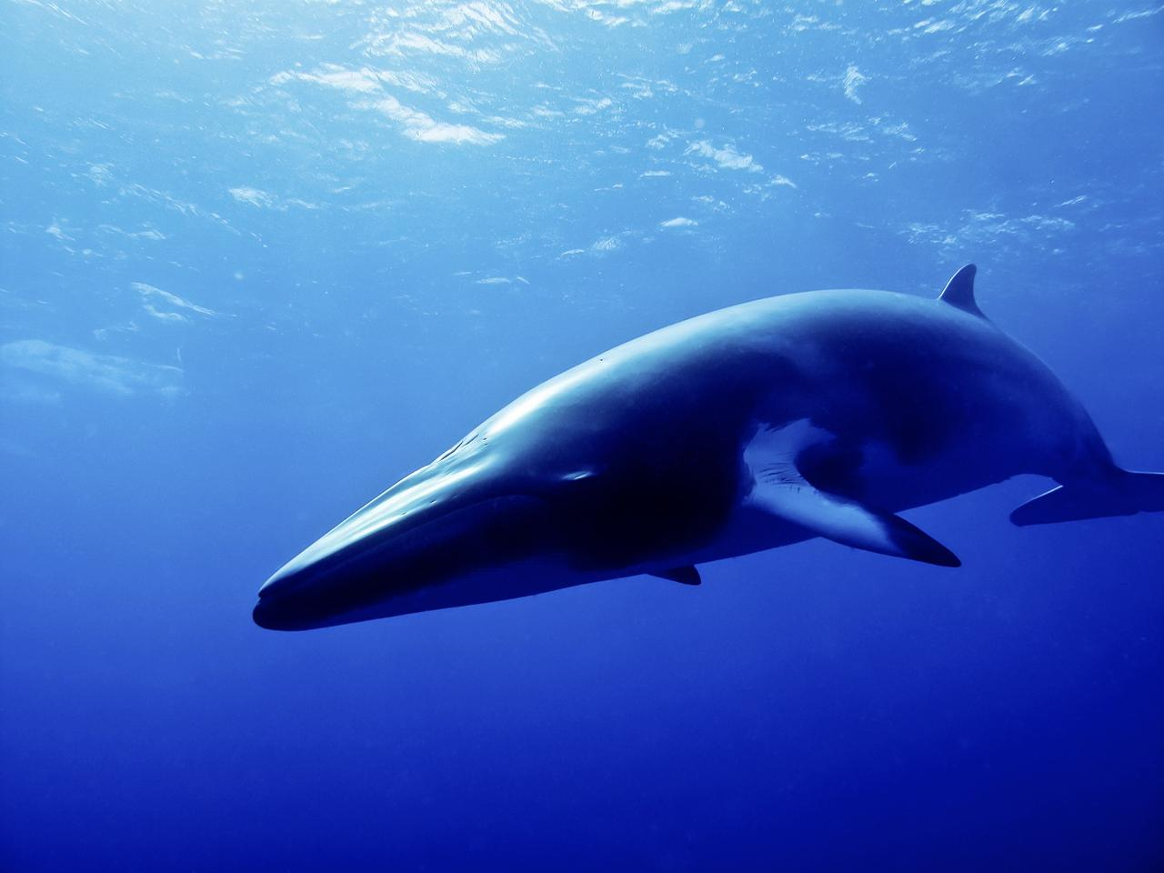 Strange sounds recorded in the Mariana Trench may be a new dialect of whale song, according to researchers