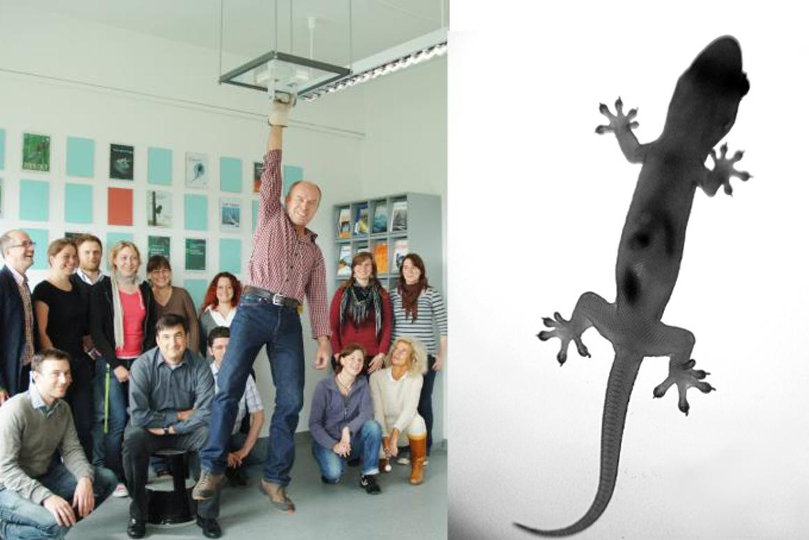 Surrounded by other team members, Achim Oesert from the University of Kiel hangs from the ceiling using bioinspired polymer tape (Image: University of Kiel) alongside an image of a gecko (Image: Wahj via Flickr)