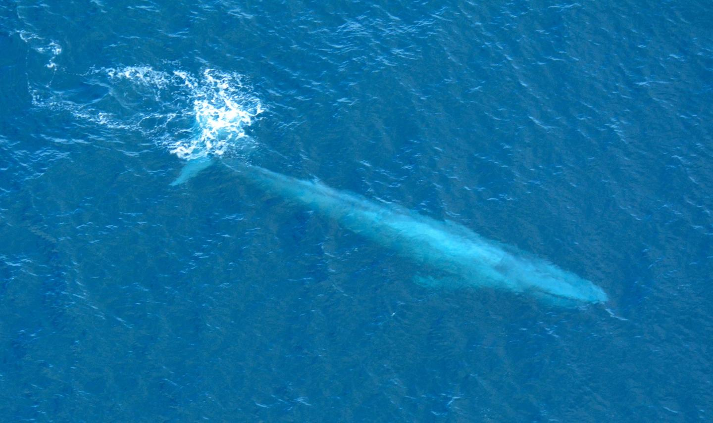 A blue whale in the waters of Southern California
