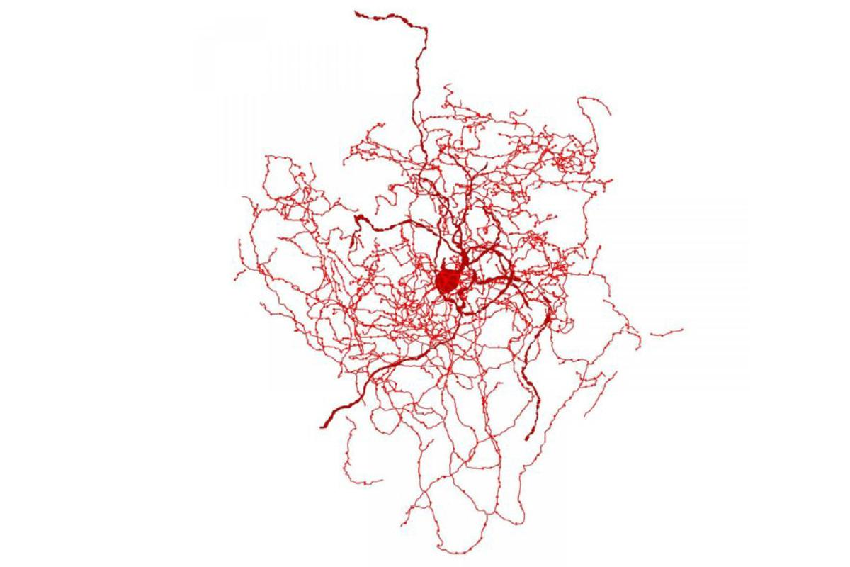 Impression of the newly discovered rosehip neuron