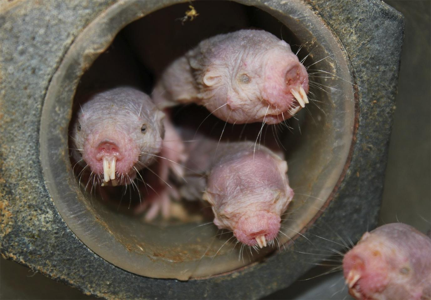 New research has found that naked mole-rats can survive in low-oxygen environments by resorting to a metabolic process previously only thought possible in plants