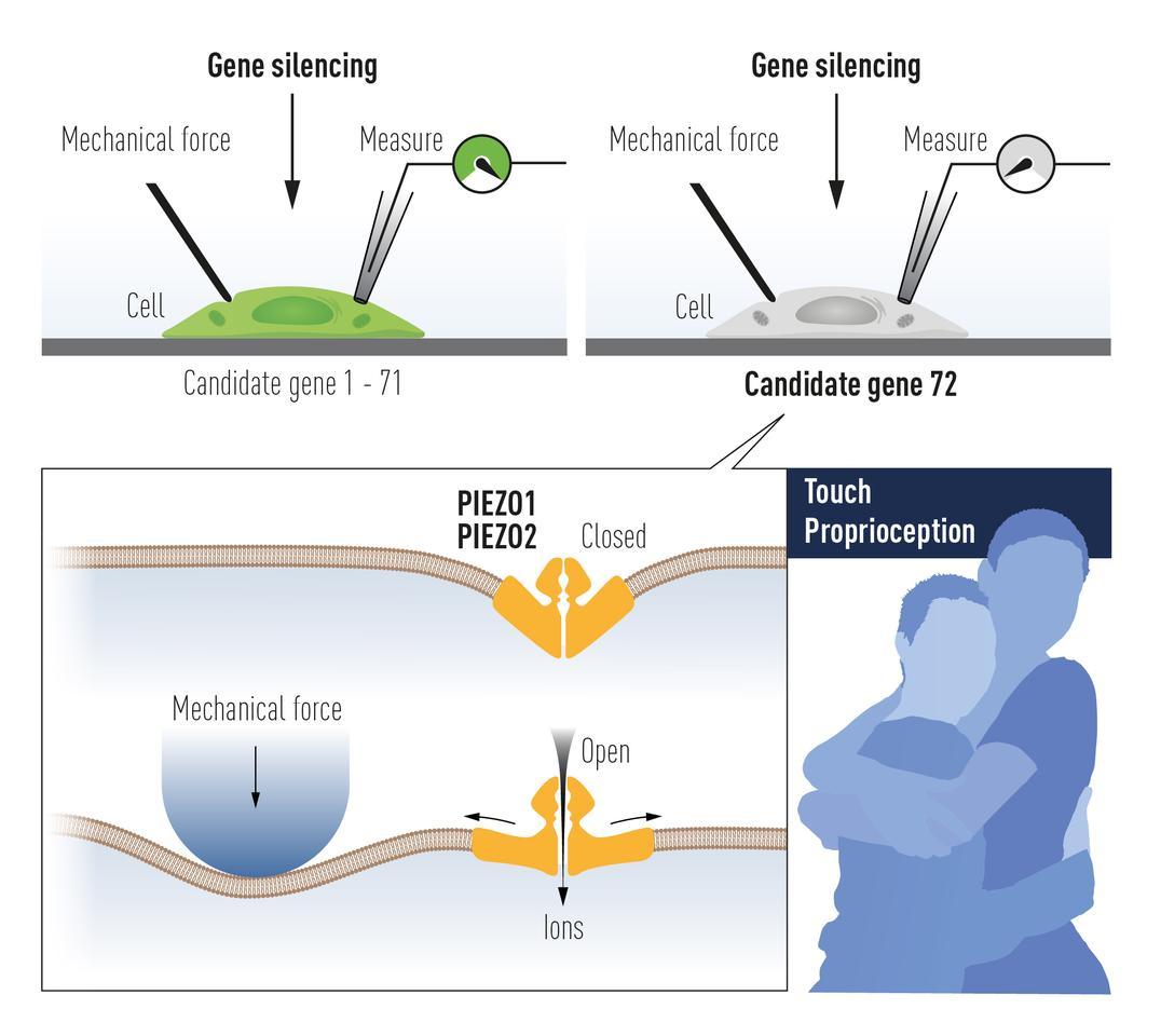 Диаграма, илюстрираща как рецепторите Piezo1 и Piezo2 функционират, за да усетят механичното налягане, което спечели откривателя Ardem Patapoutian половината от Нобеловата награда за физиология или медицина през 2021 г.
