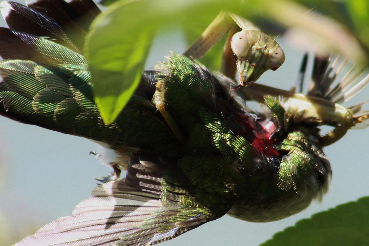 A worldwide study has shown praying mantises regularly kill and eat small birds