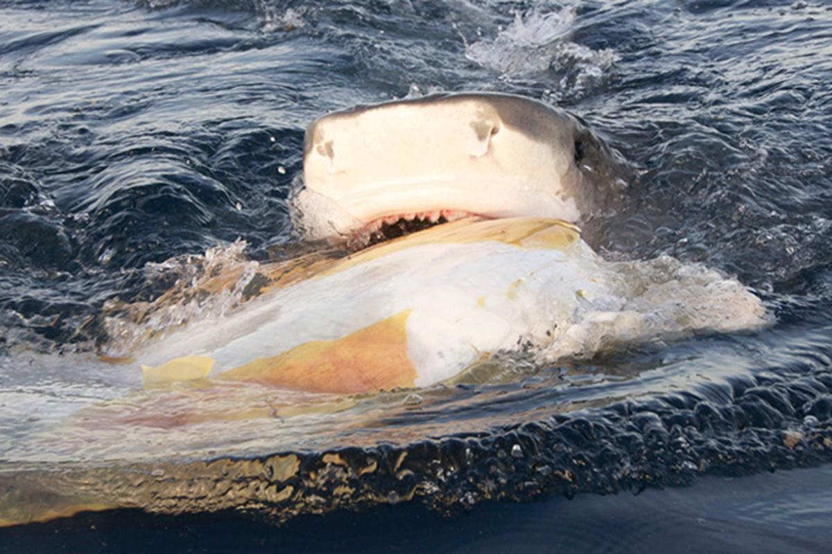 A tiger shark bites into a dead sea turtle in the waters around Raine Island