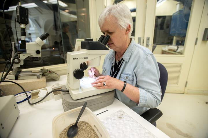 Karen Nordquist, the Field Museum volunteer for whomGalagadon nordquistiis named, working at the microsorting station in the fossil prep lab where she discovered theteeth