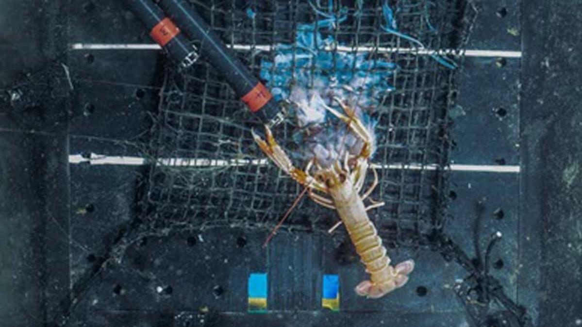 A deep sea image showing a Norway lobster munching on a jellyfish