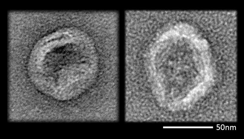An enveloped virus (left) coats itself with lipid as part of its life cycle. New lipid-coated DNA nanodevices (right) closely resemble those viruses and evade the immune defenses of mice (Image: Steven Perrault/Harvard's Wyss Institute)