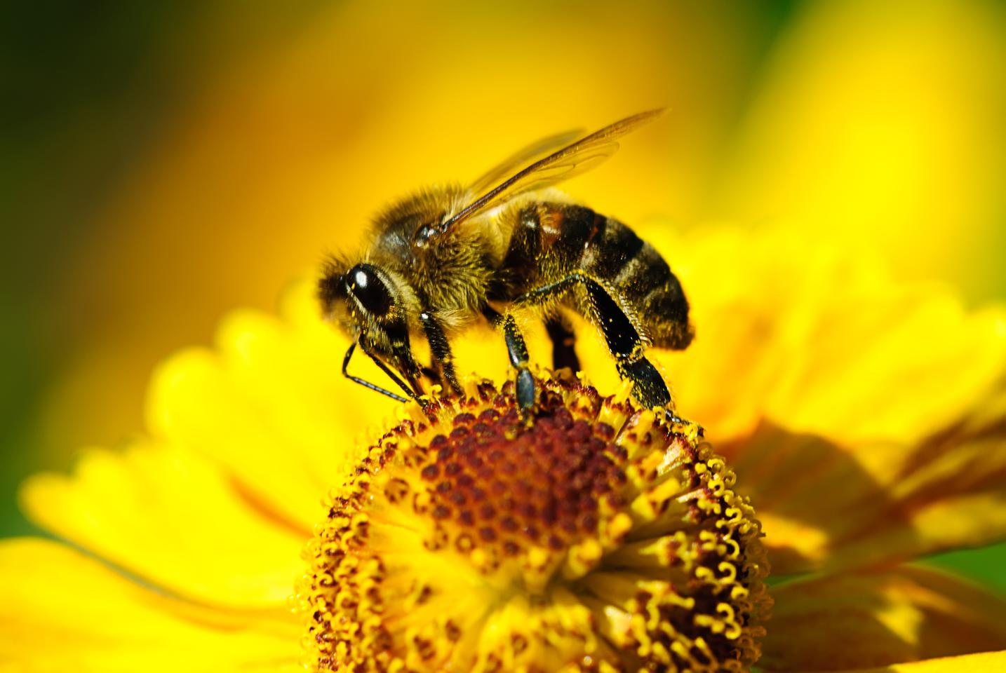 Researchers found bees primed with caffeine-laced odors in their nest better targeted flowers with those odors when released