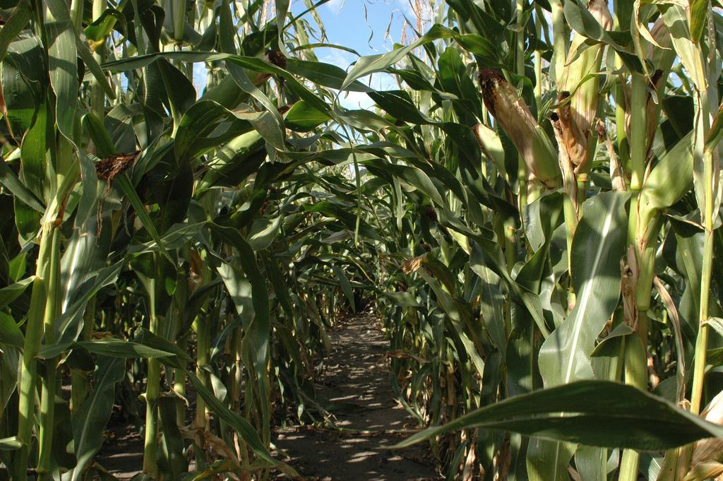 Researchers have succeeded in producing isobutanol directly from cellulosic plant matter such as corn stover (Image: mattdente via flickr)