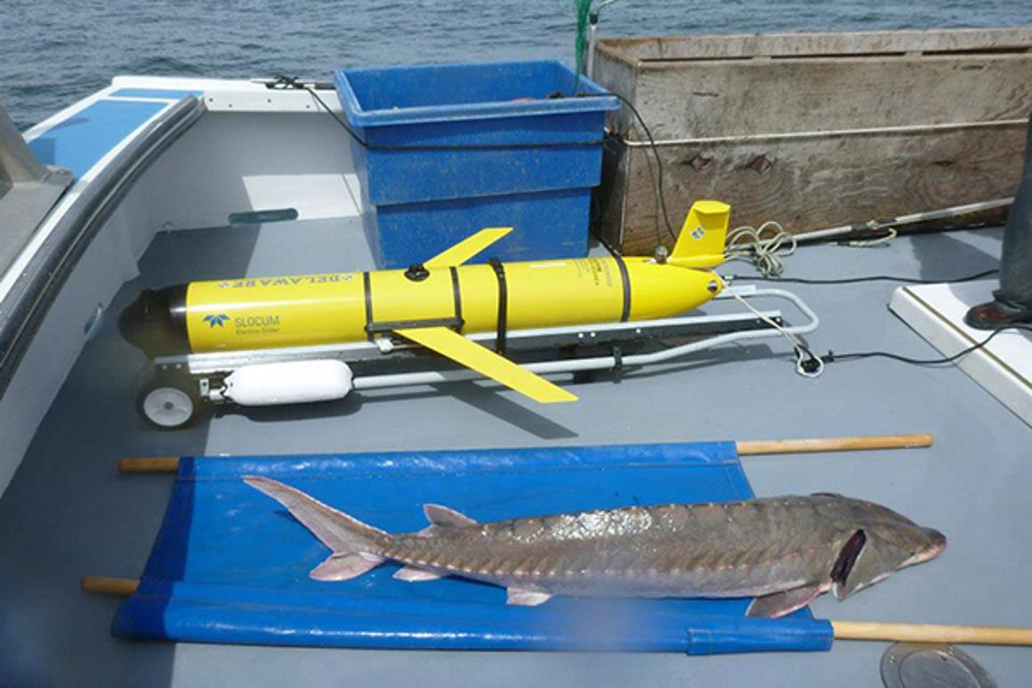 The OTIS glider and an Atlantic sturgeon, which is about to be tagged and released (Activities authorized under NMFS Permit No. 16507-01)