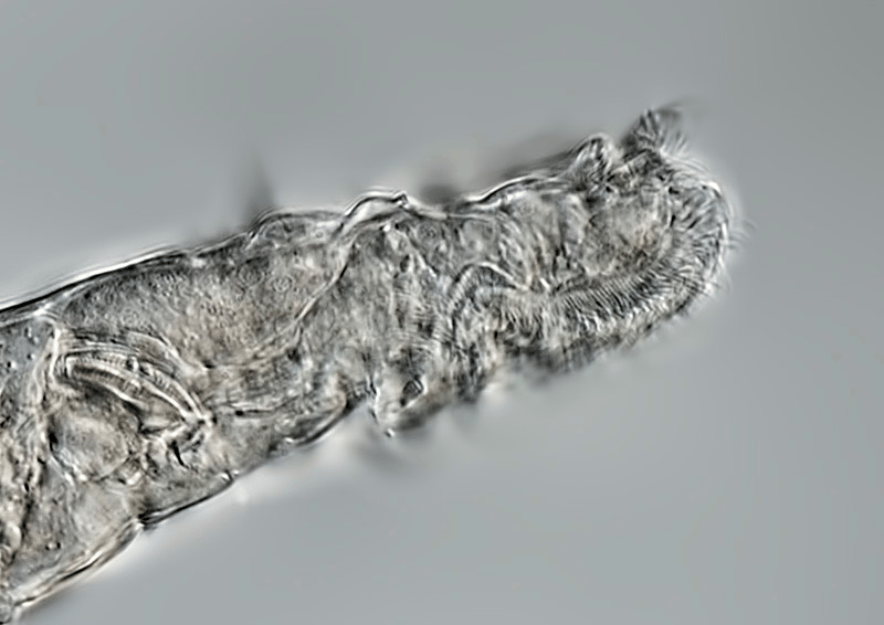 A close up of a bdelloid rotifer