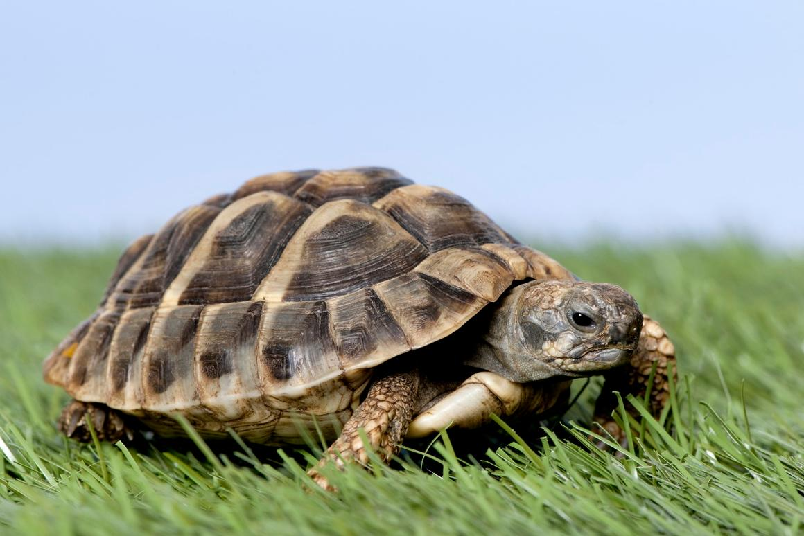 KAIST researchers have developed a system that would let people steer a live turtle just by thinking
