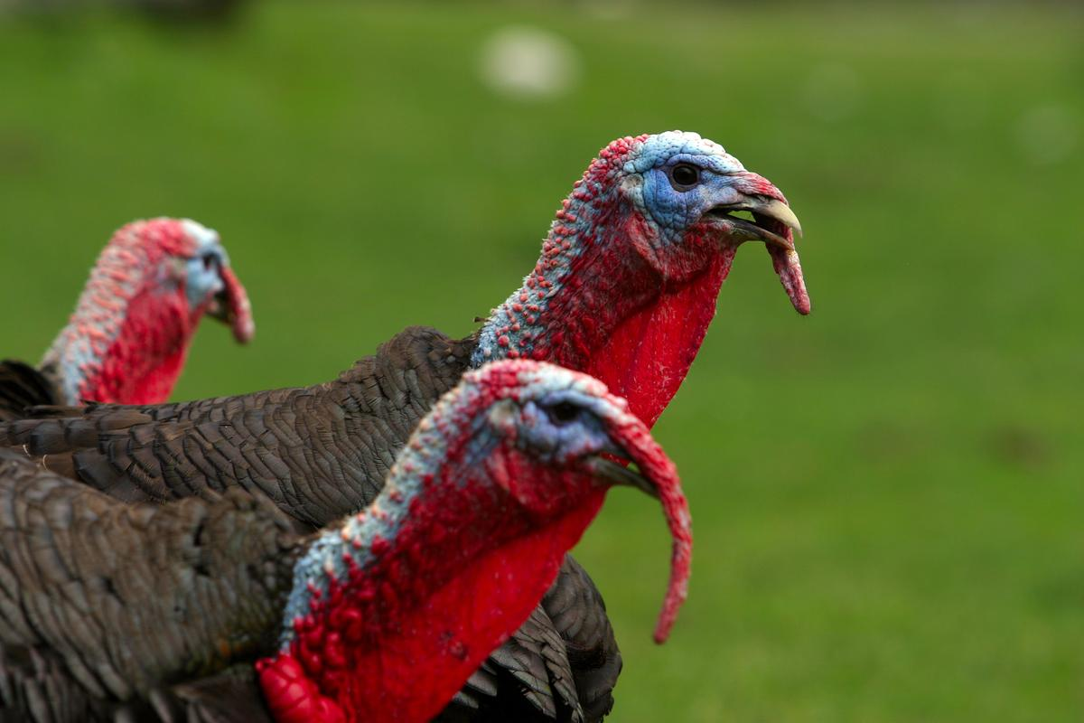 The good ol' red, white and blue – turkeys show off their color-changing skin (Photo: Shutterstock)