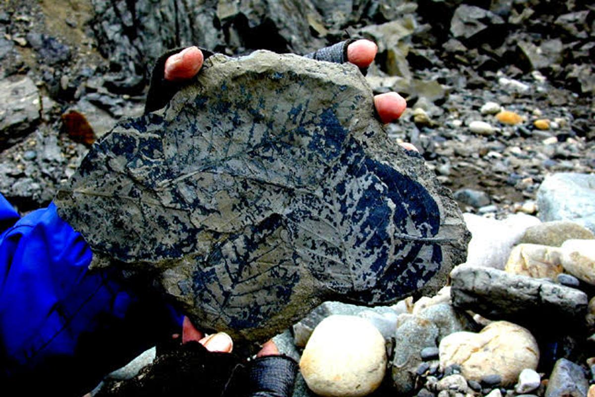 Plant fossils can reveal the levels of carbon dioxide in the atmosphere at the time they lived